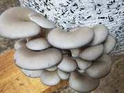 Продам грибы вешенку,  собственного производства .