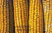 Продаются семена подсолнечника,  пшеницы и кукурузы